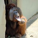 Orangutan eating an Iceblock  by cs-cookie
