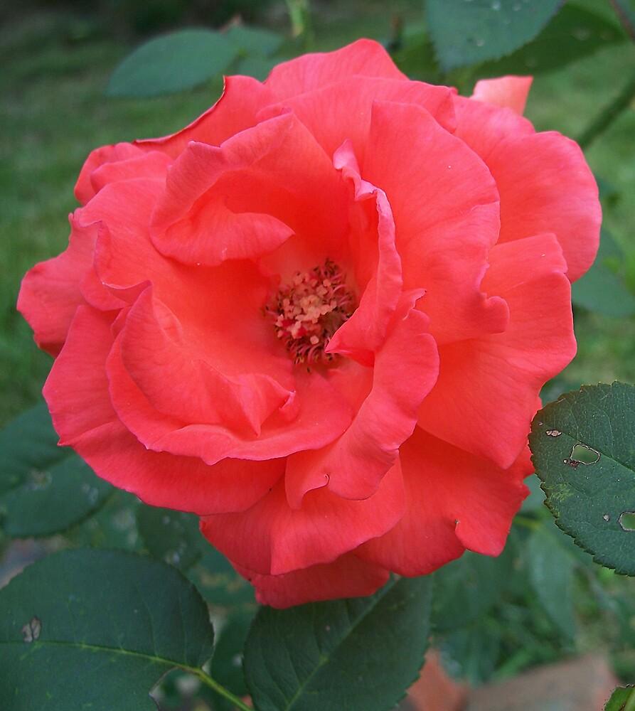 Red Rose by brandie