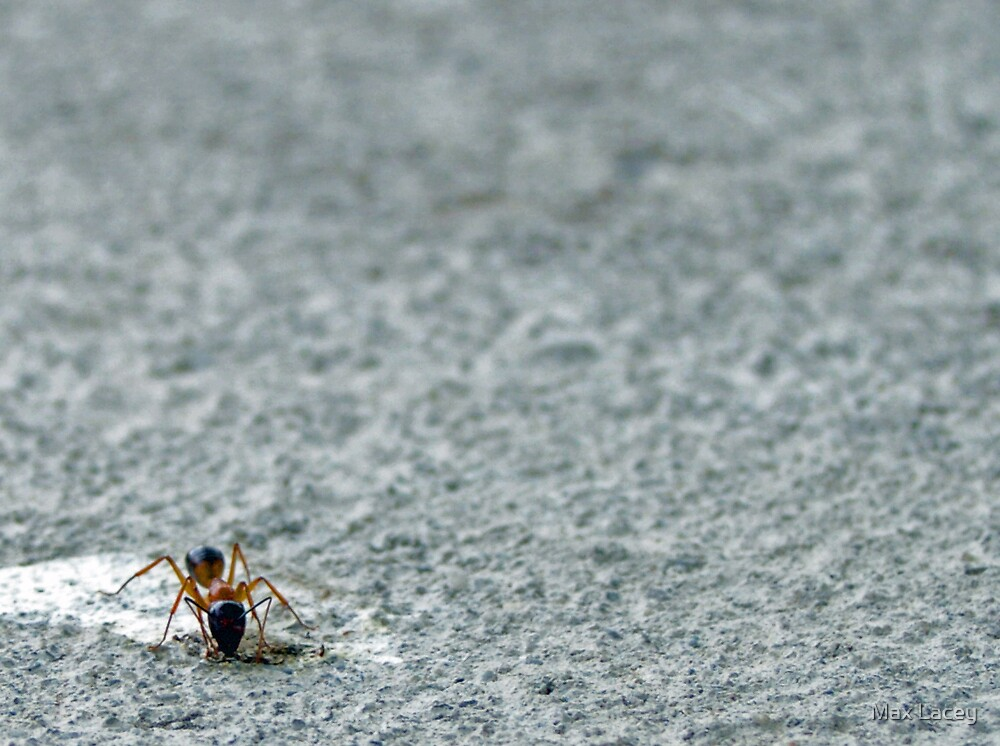 bull ant  by Max Lacey