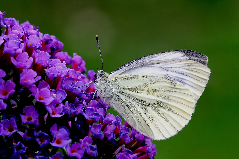 Green Veined White Butterfly by kitlew