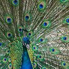 Peacock and feather display by Kathie Thomas