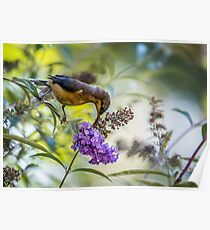 Eastern Spinebill with Buddleja Poster