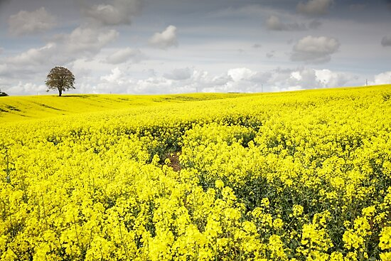 Fields of Gold by Heidi Stewart
