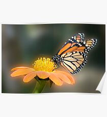 Monarch Butterfly closeup  Poster