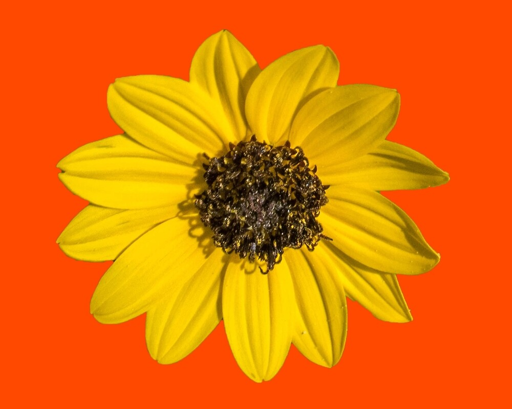 Yellow Daisy on Orange by Keith Childers