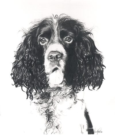 Springer Spaniel Pencil Drawing by onlypencil