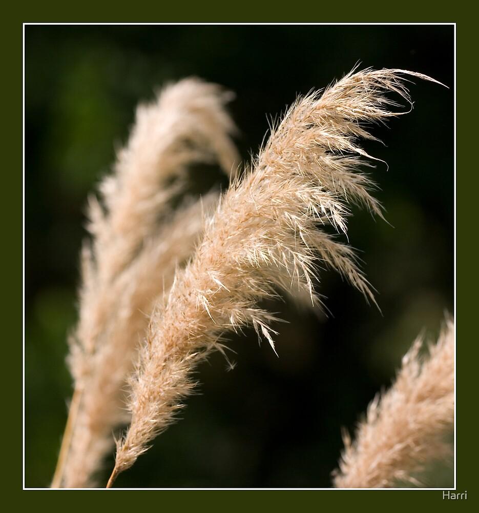 Pampas Grass by Harri