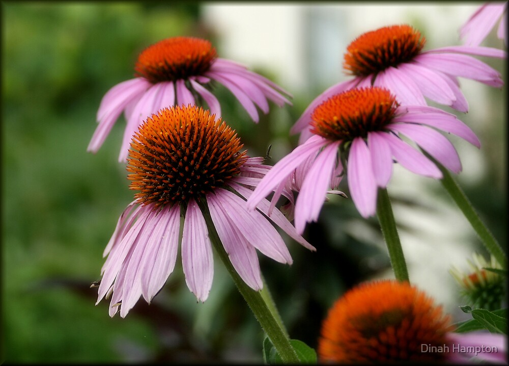 Pink Cone Flowers by Dinah Hampton