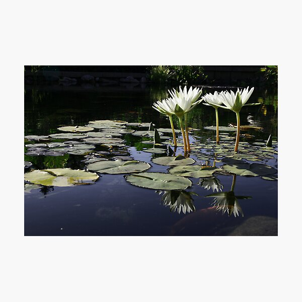 Lilypond Photographic Print