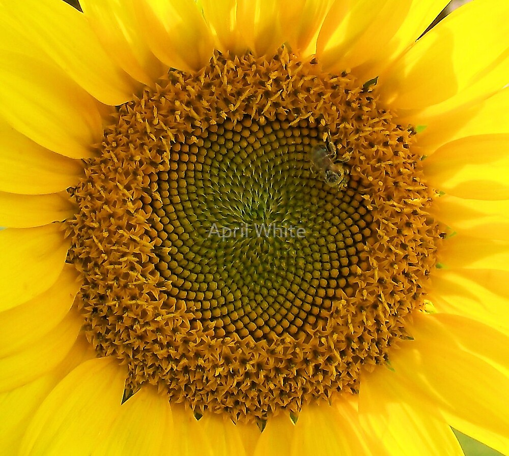Sunflower Macro 3 by April White
