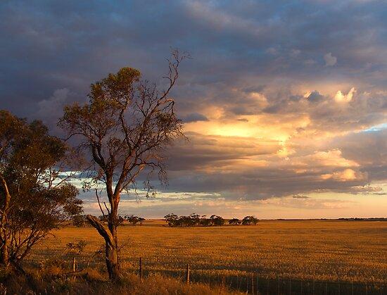 Rust coloured Wheat by Matt Harvey