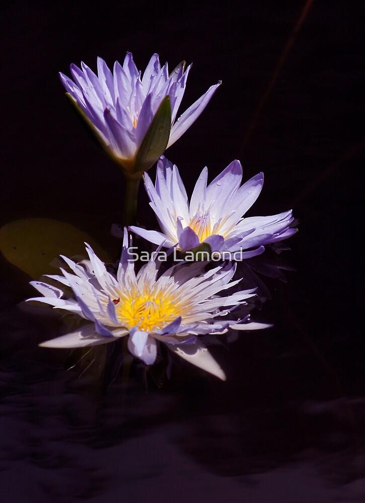 Waterlily trio by Sara Lamond