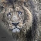 ...a grumpy Lion in HDR... by John44