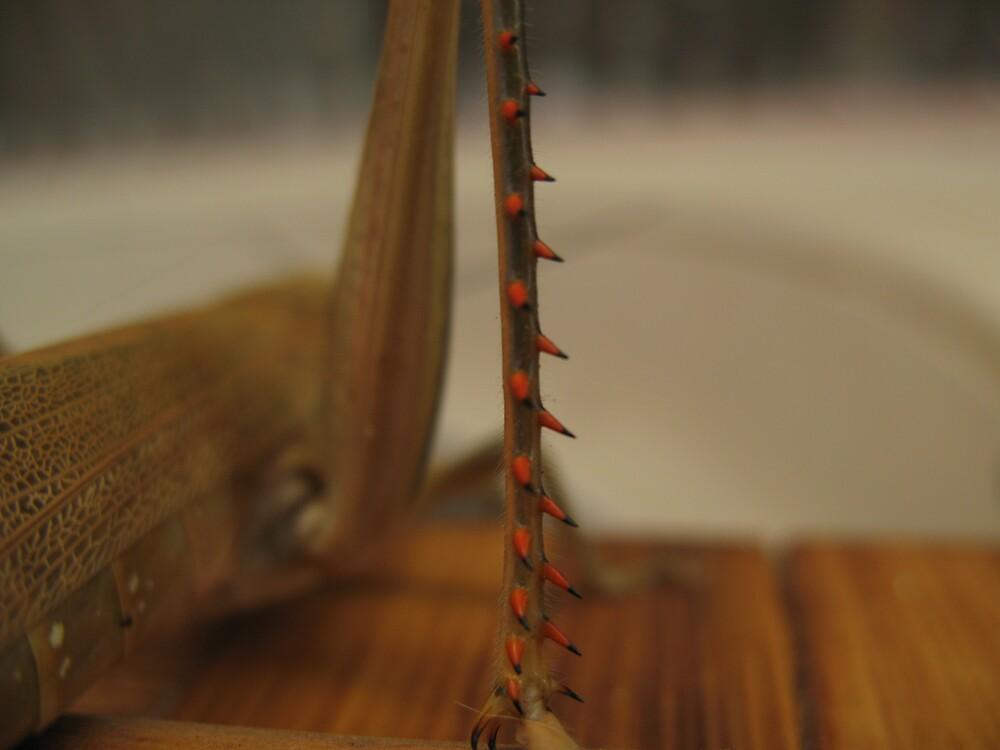 Spiky locust leg by Ross James