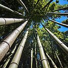 Bamboo Shoots by FranJ