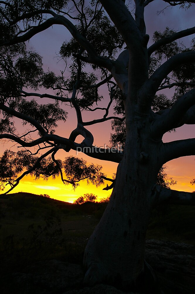 Sunset Gum, Flinders Ranges, South Australia by pmitchell