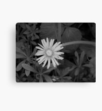 Dandelion in grey scale Canvas Print