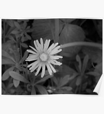 Dandelion in grey scale Poster