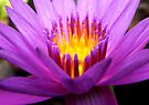 Pink And Purple Lotus by Dave Lloyd