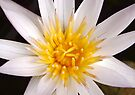 Lotus Heart by Dave Lloyd