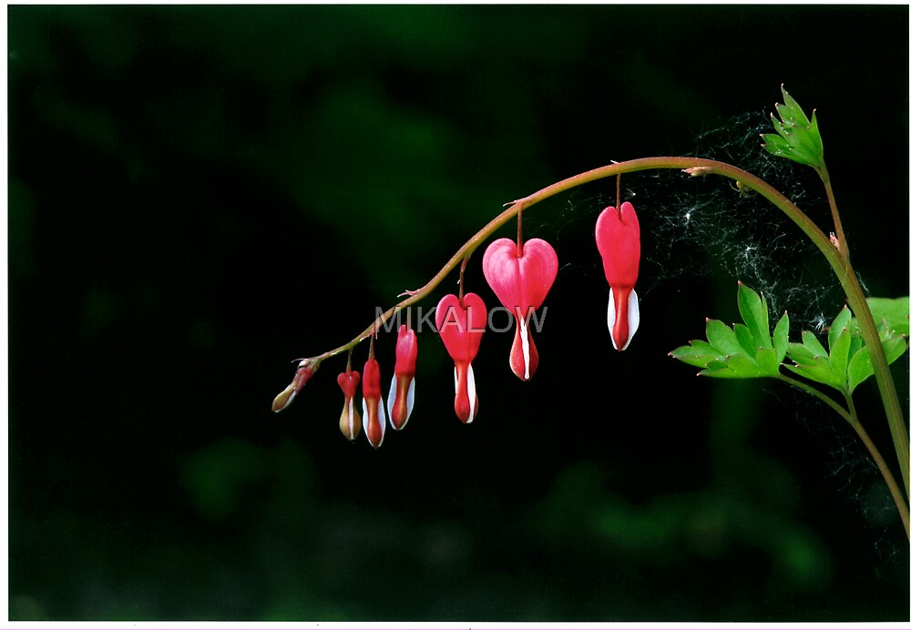 Bleeding Hearts by MIKALOW