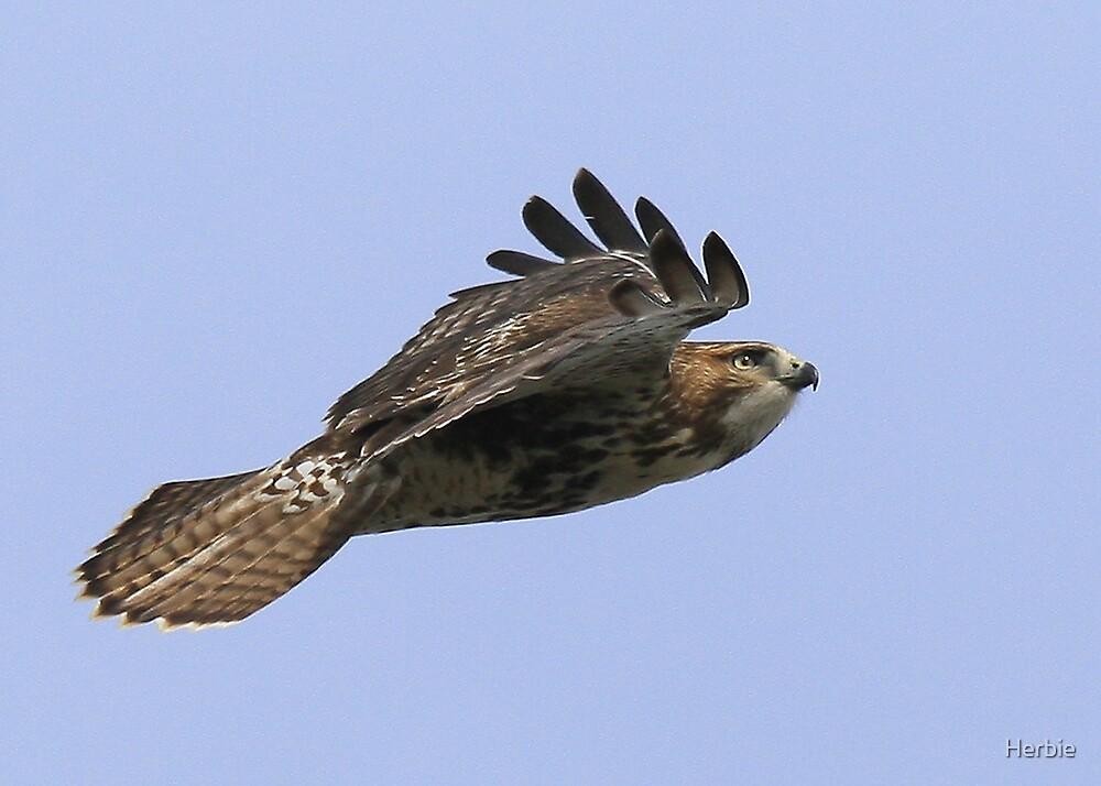 Flying Red Tailed Hawk 2 by Herbie