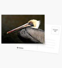 Brown Pelican Postcards