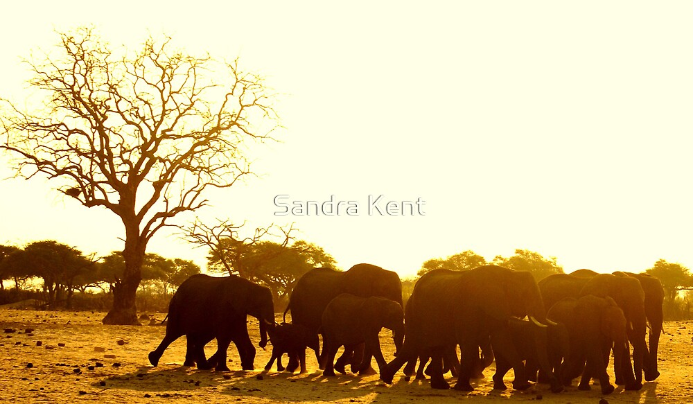 Elephant Sunset by Sandra Kent
