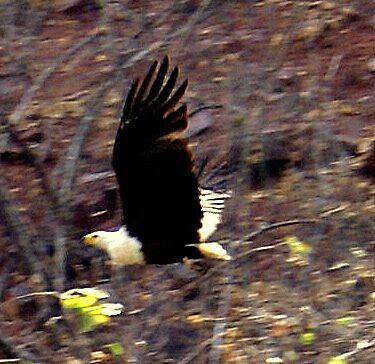 Fish Eagle in flight by Sandra Kent