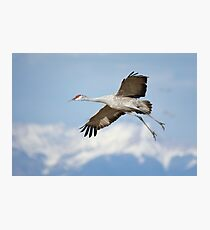 Sandhill crane in Monte Vista Photographic Print