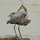 Great Blue Heron by SuddenJim