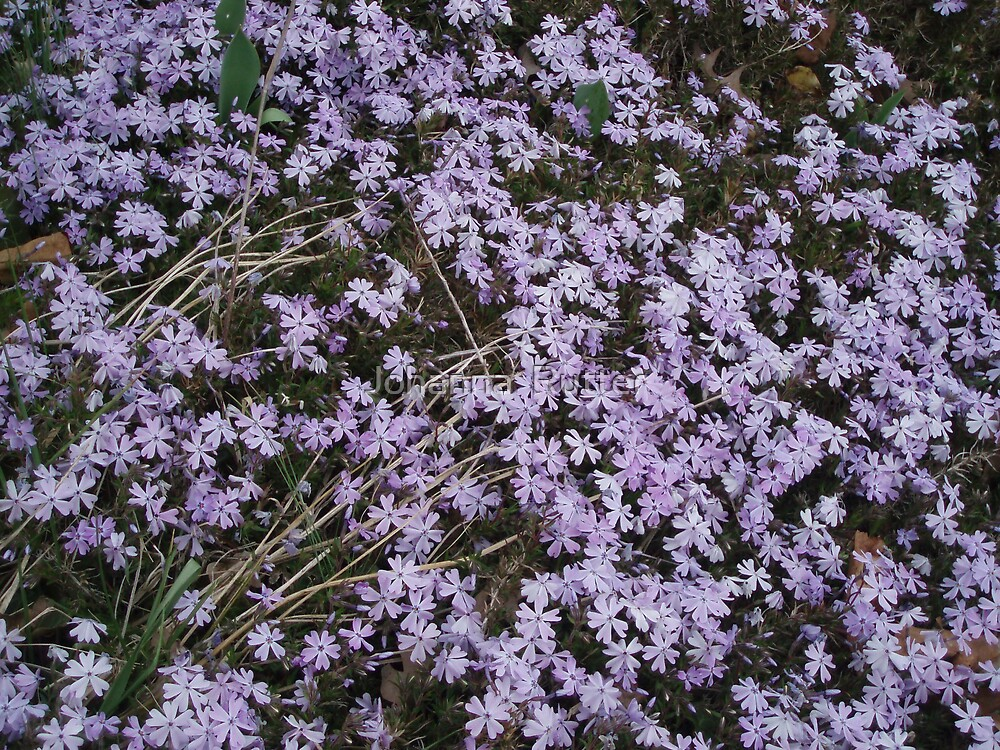 Bed of purple flowers by Johanna  Rutter