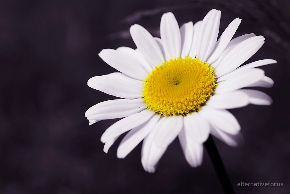 daisy by alternativefocus