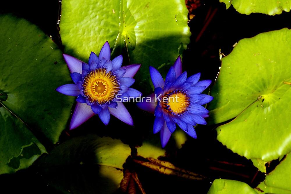 Waterlillies by Sandra Kent