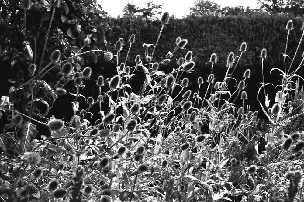 Teasels in the Sun by TimHatcher