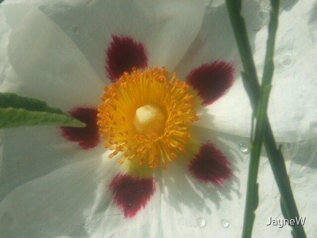 white flower by JayneW