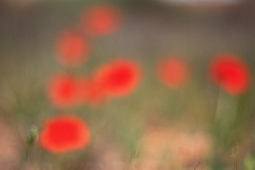 Poppies by maijo moris