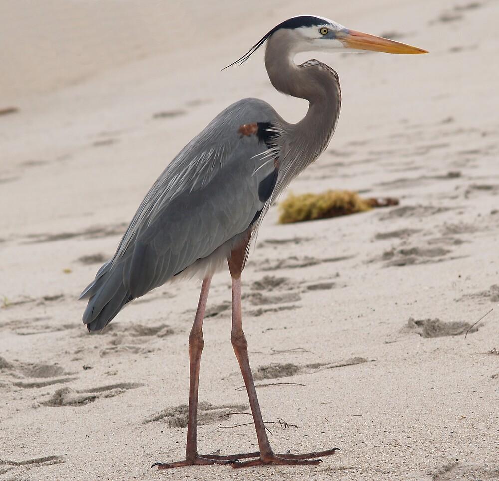 Great Blue Heron by dewinged