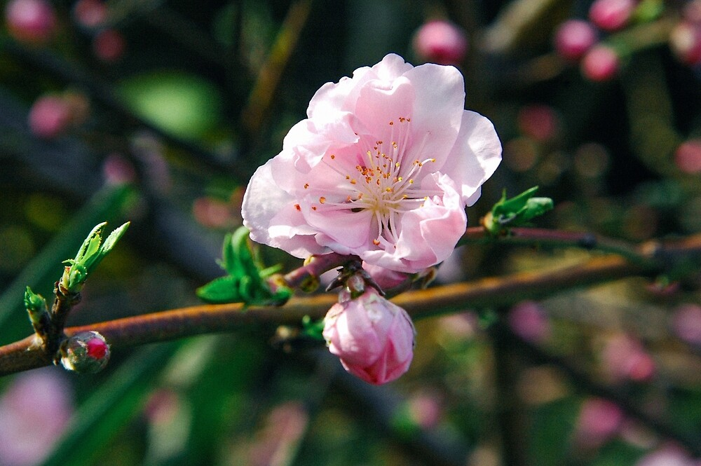 Sakura by Christa Moreau