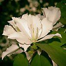 silky white... by Wieslaw Jan Syposz