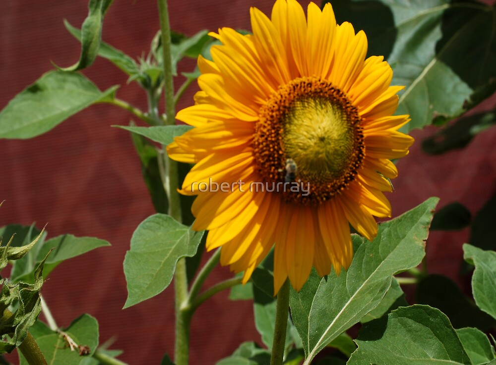 sunflower and bee by robert murray