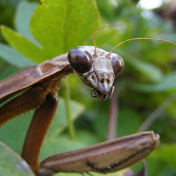 Praying Mantis by Andy2302