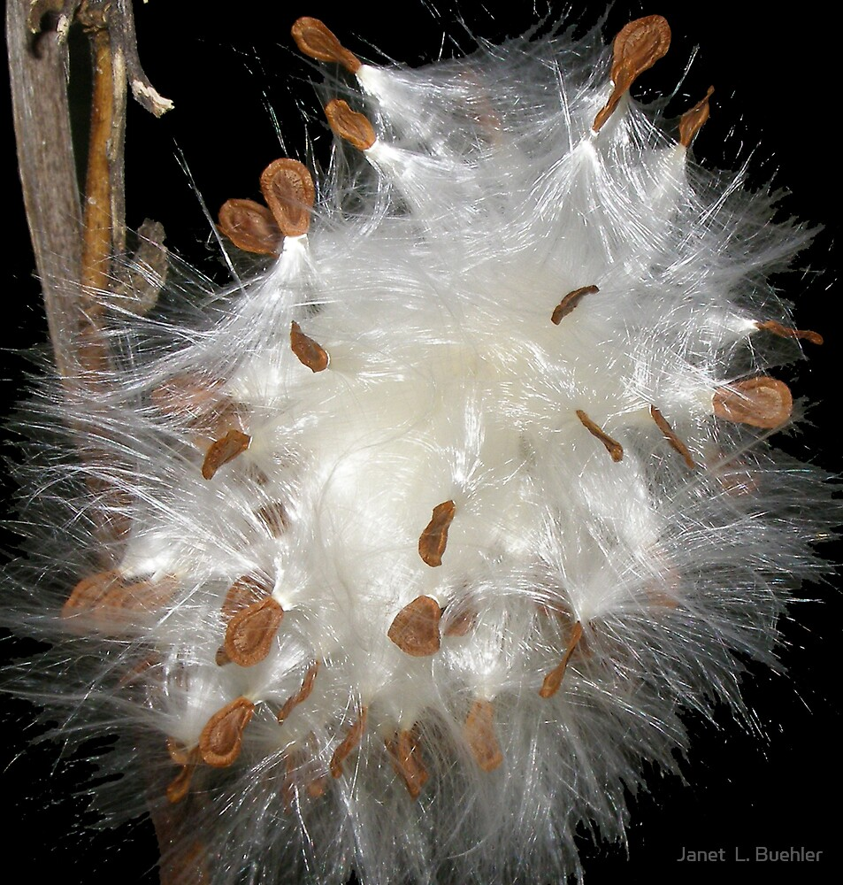 Silky Fibers of the Milkweed by Janet  L. Buehler
