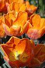 Tangerine Tulip by christiane