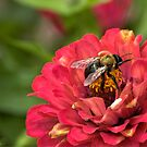 The Endangered Bumble Bee by LarryB007