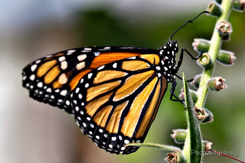 Monarch butterfly by Photos by Healy