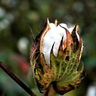Cotton Pickin' Fun by photomama4