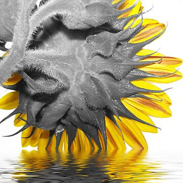 Flooded Sunflower by melaniedion