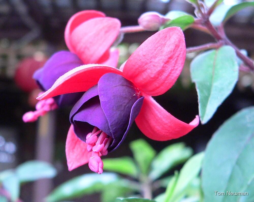 Fuchsia II by Tom Newman
