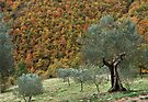 Olive Trees in the Valley by Alessandro Pinto